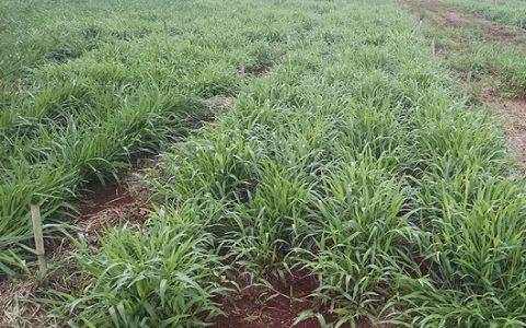 Inoculante biológico aumenta produção de massa verde pelo pasto em até 22%